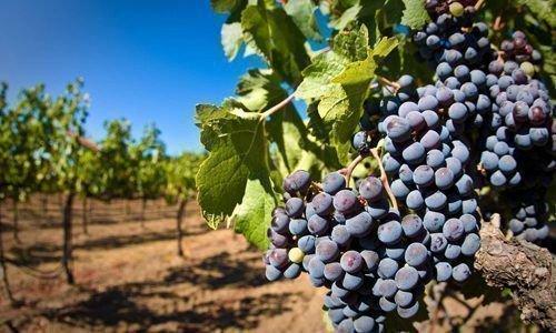 Гроздь винограда на кусте