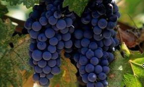Виноград синий, сорта и виды