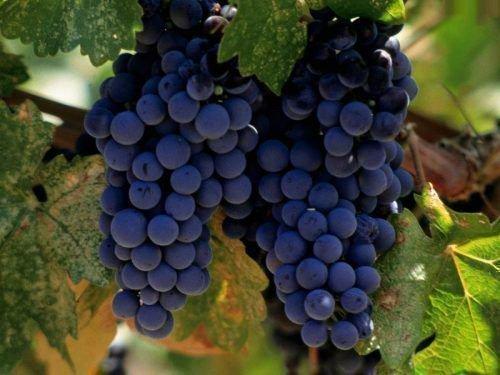 Виноград синих сортов