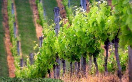Выращивание винограда для новичков