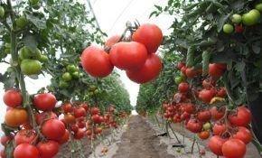 Для выращивания в теплице из поликарбоната какие  сорта томатов подойдут лучше?