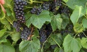 Все о кислом сорте винограда
