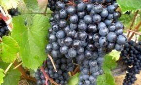 Сибирские виноградные сорта