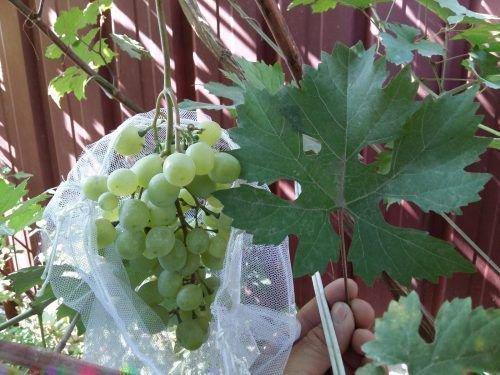 Лист и гроздь Анжевина