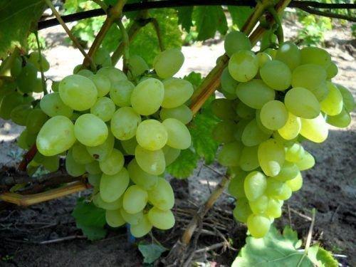 Виноградный сорт имени Бажена