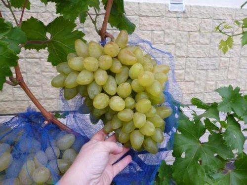 Виноград сорта Бажена
