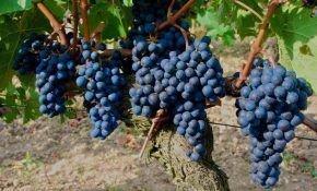 Бессемянный черный зимостойкий виноград (Памяти Домбковской)
