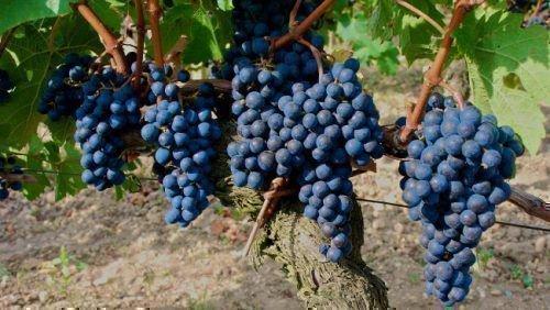 Бессемянный черный зимостойкий виноград