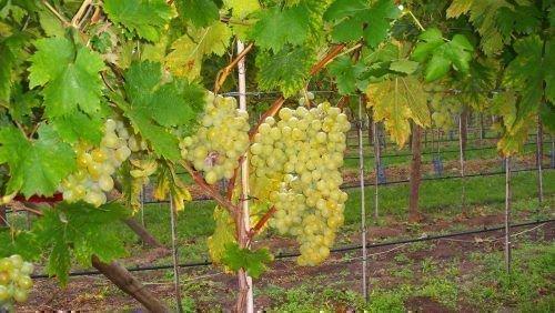 Белая красавица виноград