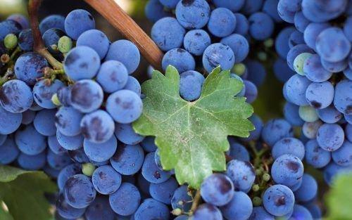 Сорт черного винограда