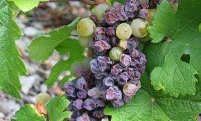 Почему вянет ягода винограда