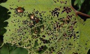 Листья винограда: симптомы болезней