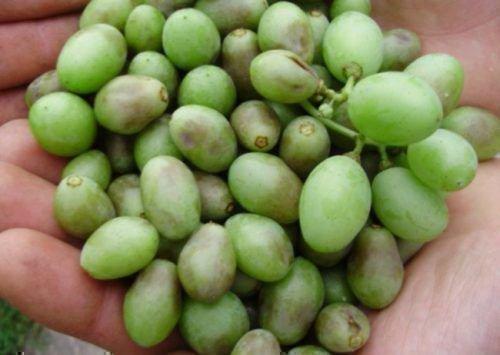Ягоды винограда при короткоузлии