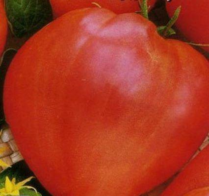 Созревший плод помидора Буденовка