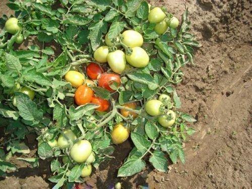 Куст томатов сорта Челнок