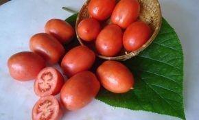 Томат Челнок: характеристика, описание выращивания сорта