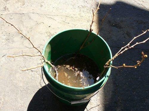 Черенки винограда вымачиваются