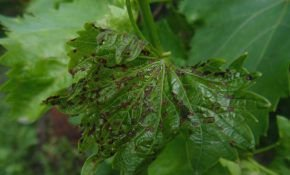 Почему на винограде почернели листья