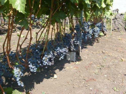 Урожай винограда Черного Жемчуга
