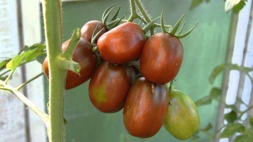 Гроздь томата Черный мавр