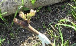Прививки винограда весной: вариант «черным в черное»