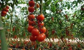 Выращивание помидоров: посадка и уход в открытом грунте