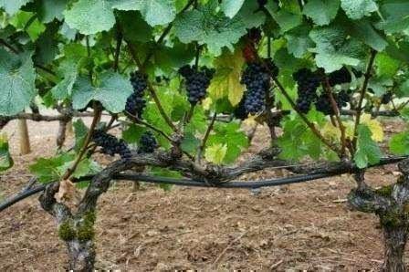 Чистка винограда