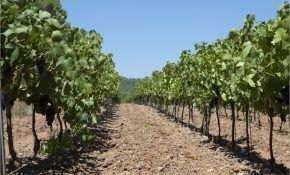Какая нужна почва под виноград