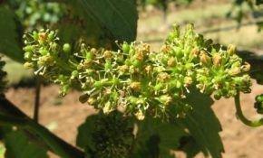Удобрение винограда и его подкормка после завершения цветения