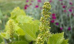 Правила обработки винограда: период до и после цветения