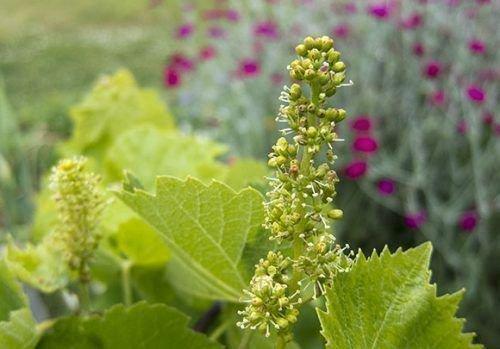 Цветы винограда