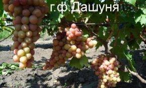 Гибридная форма винограда Дашуня - лучший выбор