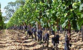 Одноплоскостные шпалеры для винограда и их конструкция