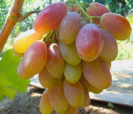 Ягода винограда сорта Диксон