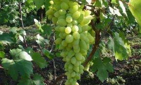 Гибридный сорт винограда Долгожданный