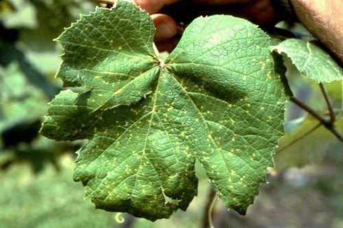 Эскориоз винограда