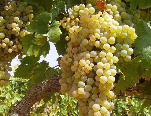 Спелая гроздь Фаворита