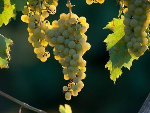 Сорт винограда Фурминт