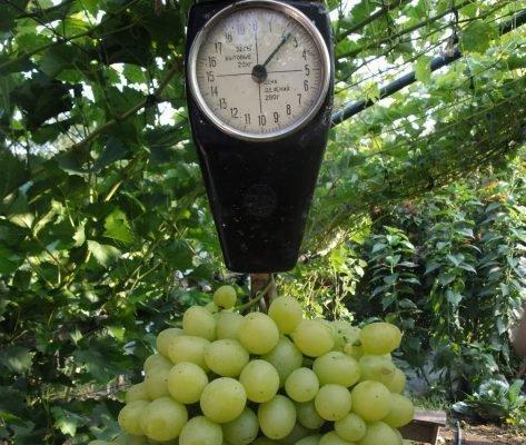 Вес грозди
