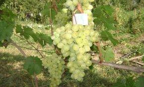 Преимущества и недостатки винограда Галбена Ноу