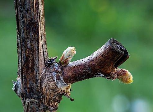 Глазки винограда