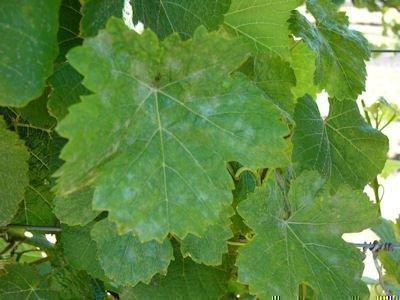 Грибковые болезни винограда