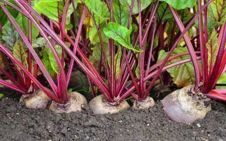 Столовая (пищевая) свекла — особенности, выращивание и уход