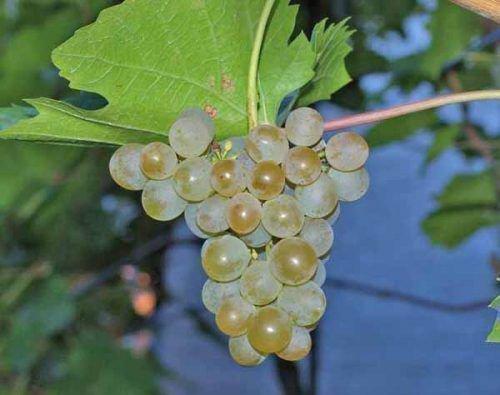 Гроздь винограда Кристалл