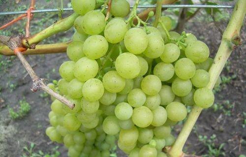 Гроздь винограда Белое Чудо