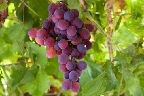 Гроздь винограда Лидия