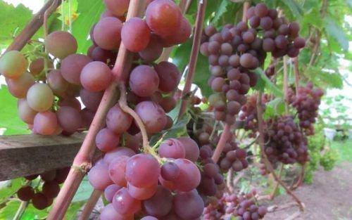 Гроздь винограда Минский Розовый