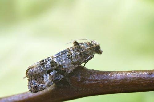 Гроздевая листовертка