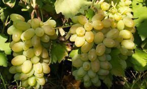 Тимур - сорт винограда