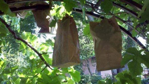 Грозди винограда в мешочке